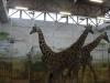 zoo-zamoc59bc487-17r-040